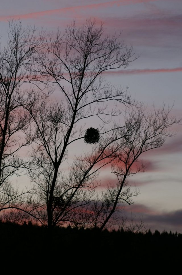 A mistletoe bush alone on a branch, dark against red evening clouds