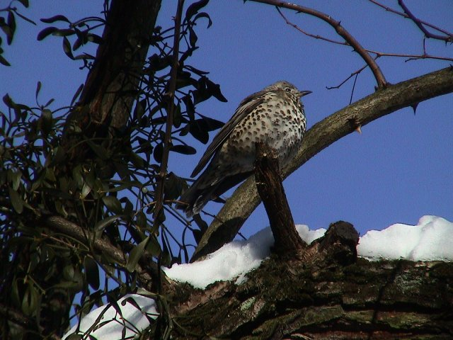 A mistletoe thrush sits over a snow-covered branch