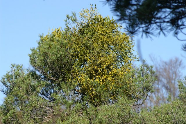 A mistletoe bush on a pine against a blue spring sky