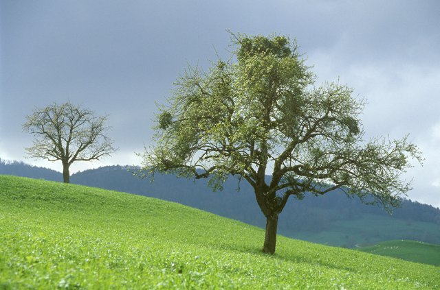 An apple tree stands on a slope and carries several mistletoe bushes.