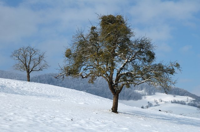 The apple tree is densely covered with green mistletoe in the middle of the snow-covered meadow.