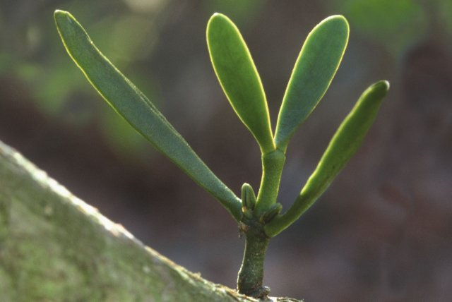 A very young mistletoe plant with just four leaves growing out of a branch with smooth bark