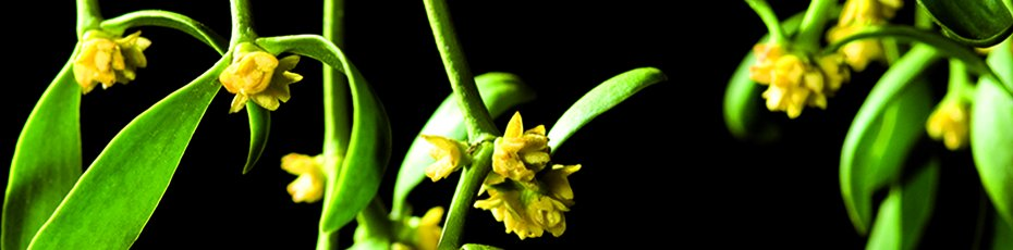 Iscador Ag International Frequently Asked Questions About Mistletoe Therapy
