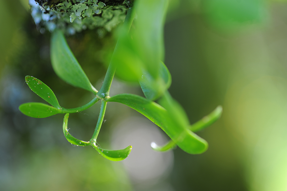 A young mistletoe shoot hangs upside-down on a mossy branch