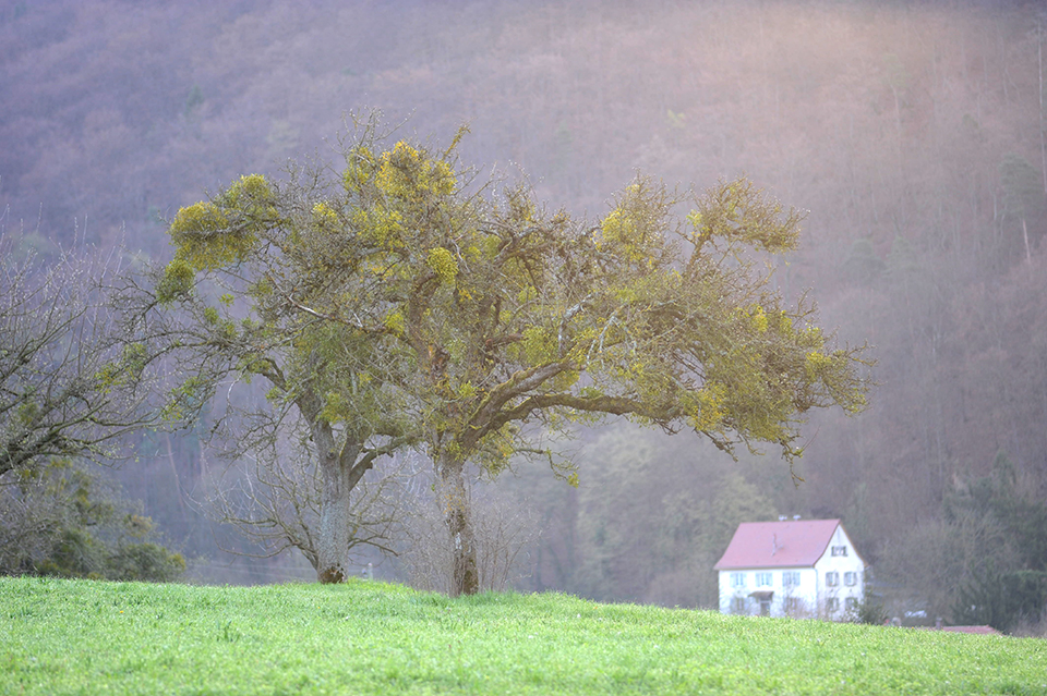A tree carrying several mistletoe bushes stands on a grassy knoll, a red-roofed house can be seen in the distance